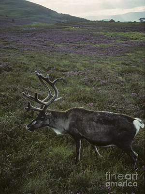 Photograph - Reindeer Bull In Summer by Phil Banks