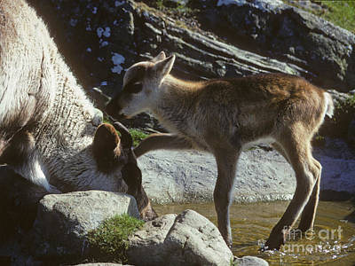 Photograph - Reindeer Calf Cooling Off by Phil Banks