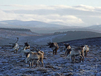 Photograph - Reindeer In Cairngorms by Phil Banks
