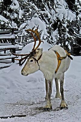 Reindeer In Lapland Finland Art Print