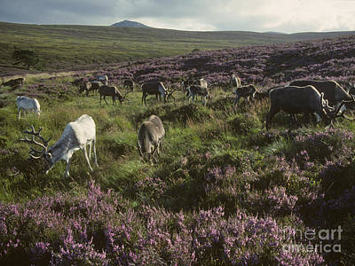 Photograph - Reindeer - Summer - Cairngorms by Phil Banks
