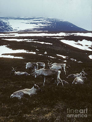 Photograph - Reindeer - Winter - Cairngorms by Phil Banks