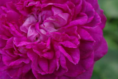 Photograph - Reine Des Violettes Rose Up Close by Robyn Stacey