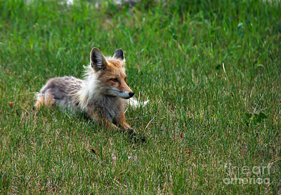Photograph - Relaxing Red Fox by Robert Bales
