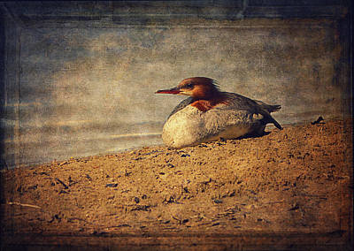 Common Merganser Wall Art - Photograph - Relaxing Under The Sun  by Maria Angelica Maira
