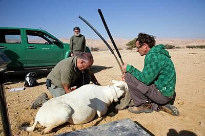 Israeli Photograph - Releasing An Oryx by Photostock-israel