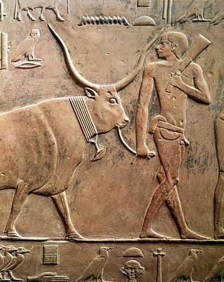 Sacrificial Photograph - Relief Depicting A Peasant Leading A Cow To Sacrifice, From The Mastab Of Ptah-hotep by Egyptian 5th Dynasty