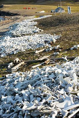 Beluga Whale Photograph - Remains Of Beluga Whales by Ashley Cooper