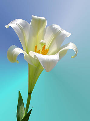 Lilies Royalty-Free and Rights-Managed Images - Remembrance by Kristin Elmquist