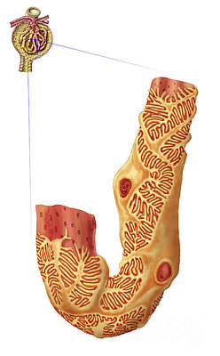 Digital Art - Renal Corpuscle And The Filtration by Stocktrek Images