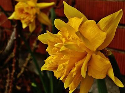 Photograph - Renaissance Daffodil by VLee Watson