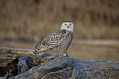 Photograph - Repeat Snowy Owl Visit by Wes and Dotty Weber