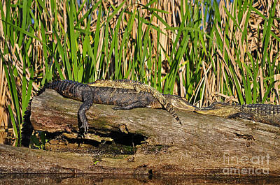 Big Al Photograph - Reptile Relaxation by Al Powell Photography USA