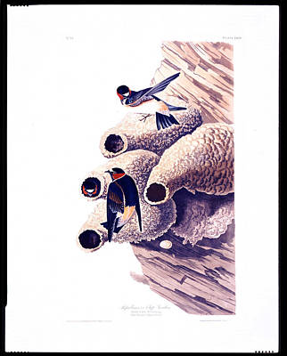 Republican Or Cliff Swallow Print by MotionAge Designs