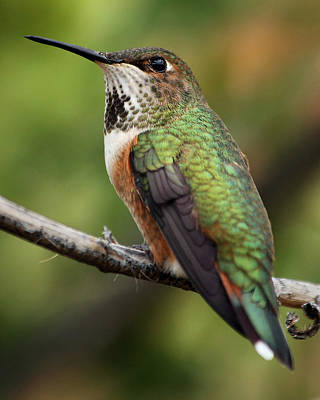 Photograph - Resident Hummingbird by Theo OConnor