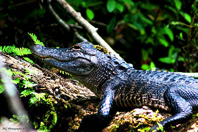 Photograph - Resting Alligator  by Marty Gayler