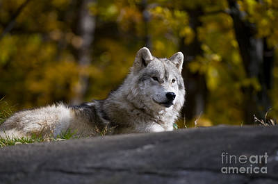 Print featuring the photograph Resting Arctic Wolf On Rocks by Wolves Only