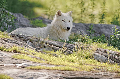 Print featuring the photograph Resting Arctic Wolf by Wolves Only