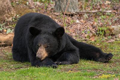 Photograph - Resting Bear by Joye Ardyn Durham
