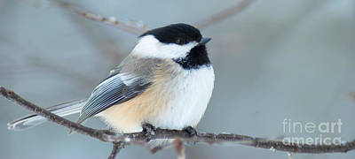 Keith Richards - Resting Black Capped Chickadee by Optical Playground By MP Ray