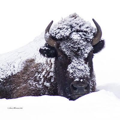 Resting Buffalo In Snow Storm Original by Sam Sherman