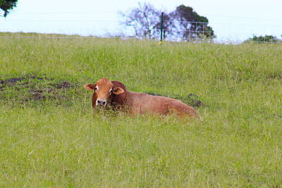 Bull Photograph - Resting Bull  by Kimberly Reeves