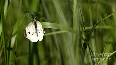 Photograph - Resting Butterfly by Arizona  Lowe