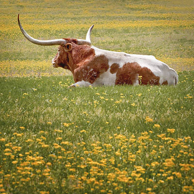 Longhorn Photograph - Resting by David and Carol Kelly