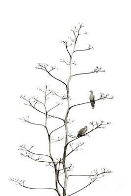 Photograph - Resting Doves by Darla Wood