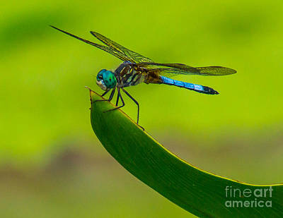 Photograph - Resting Dragonfly by Nick Zelinsky
