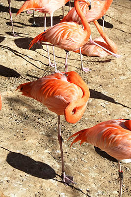 Photograph - Resting Flamingo by Lynnette Johns