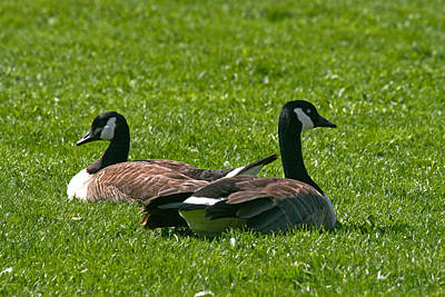 Photograph - Resting Geese by John Holloway
