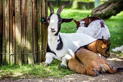 Celebrity Pop Art Potraits - Resting Goats by Pati Photography