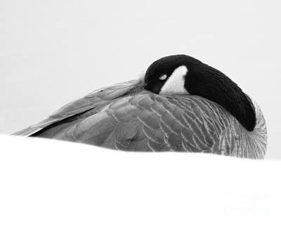 Art Print featuring the photograph Resting Goose In Bw by Anita Oakley