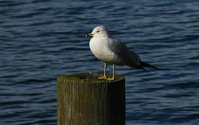 Photograph - Resting Gull by Denise Mazzocco