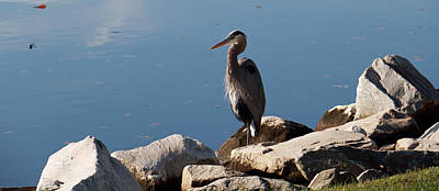 Photograph - Resting Heron by Mary Haber