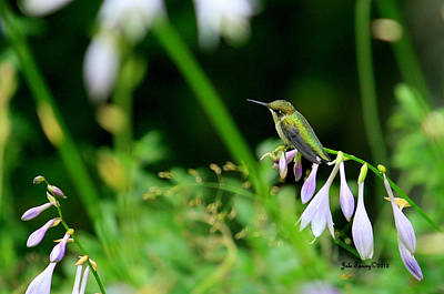 Photograph - Resting Hummingbird by Jale Fancey