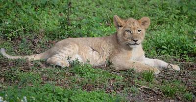 Photograph - Resting Lion Cub by Richard Bryce and Family