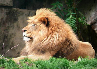 Zoo Photograph - Resting Lion by Rebecca Davis