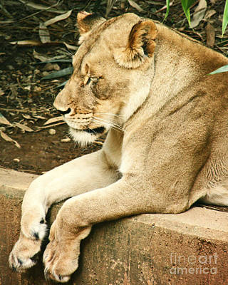 Photograph - Resting Lioness by Emily Kelley