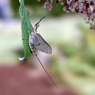Photograph - Resting Mayfly by Arthur Fix