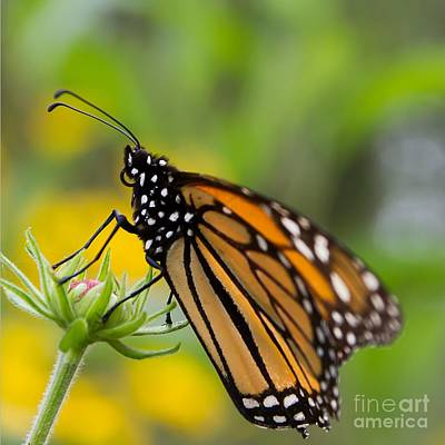 Nikki Vig Royalty-Free and Rights-Managed Images - Resting Monarch Butterfly by Nikki Vig