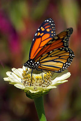 Photograph - Resting Monarch by Leda Robertson