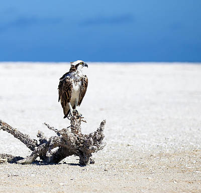Photograph - Resting Osprey by Sean Allen