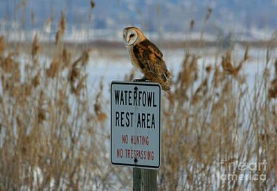Resting Owl Art Print