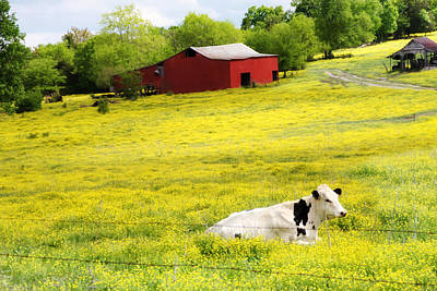 Cow Photograph - Resting Place by Amy Tyler