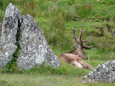 Photograph - Resting Red Deer Stag by Phil Banks