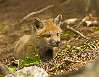 Photograph - Resting Red Fox Kit by John Vose