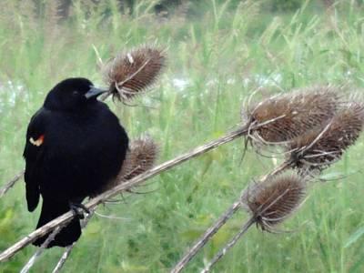 Resting Red-winged Blackbird  Art Print by Lizbeth Bostrom