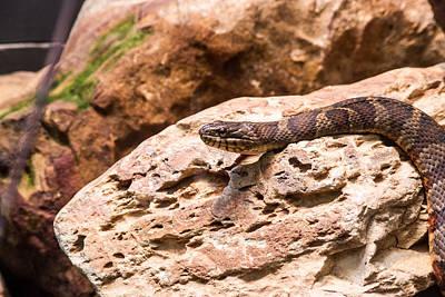 Photograph - Resting Snake by Douglas Barnett
